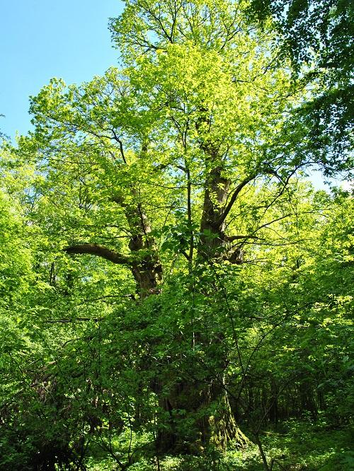 Der dickste Baum NRWs